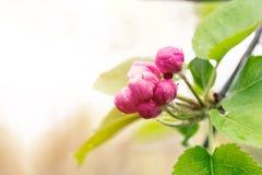 Botões de flores da maçã em dias de mola fotos de stock