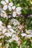 Botões de florescência da árvore de ameixa do close up Imagem de Stock Royalty Free