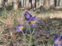 Botões de florescência da pasque-flor das flores As primeiras flores da mola Imagem de Stock