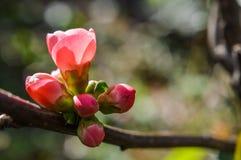 Botões de florescência do marmelo Foto de Stock Royalty Free