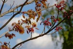 Botões de folha de bordo e flores novos - Acer Fotografia de Stock