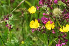 Botões de ouro amarelos do prado Fotos de Stock