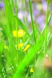 Botões de ouro no jardim Imagem de Stock