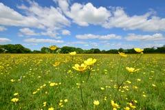 Botões de ouro selvagens no prado inglês fotografia de stock