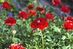 Botões de ouro suculentos vermelhos bonitos das flores Vermelho vermelho de Ranunkulyus em um dia ensolarado no parque espanhol d imagem de stock