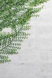 Botões de revestimento, margarida mexicana na parede Imagens de Stock Royalty Free