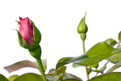 Botões de Rosa Foto de Stock Royalty Free
