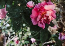 Botões de rosas cor-de-rosa no sol imagem de stock