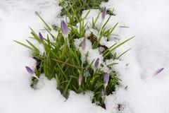 Botões do açafrão na neve Foto de Stock