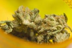 Botões do cannabis no recipiente Imagens de Stock