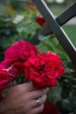 Botões do roses' e mão de florescência da noiva com anéis de prata fotos de stock royalty free