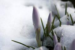 Botões dos açafrões e da neve Imagem de Stock