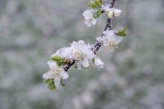 Botões e flores da mola cobertos na neve Imagem de Stock