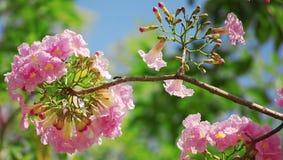 Botões e tabebuia da flor Fotos de Stock Royalty Free
