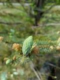 Botões em um pinheiro Fotografia de Stock