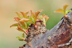 Botões em uma árvore Foto de Stock