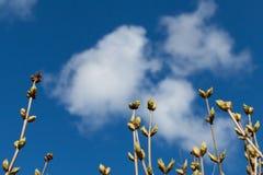 Botões frescos da árvore no céu azul brilhante Imagens de Stock Royalty Free