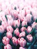 Botões lilás do close up das tulipas, tiro macro, flores da mola fotos de stock royalty free