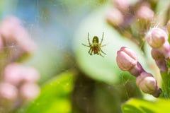 Botões lilás e aranha no macro da teia de aranha Imagens de Stock Royalty Free
