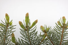 Botões novos da árvore spruce azul de prata Fotos de Stock