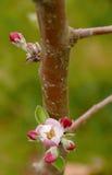 Botões novos na árvore de maçã Fotografia de Stock Royalty Free
