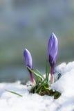 Botões roxos do açafrão na neve Fotos de Stock Royalty Free