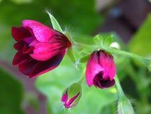 Botões roxos do ` de Contessa do ` de Ivy Geraniums Pelargonium Peltatum foto de stock royalty free