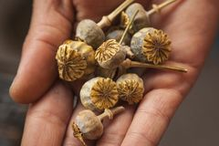 Botões secos da papoila em uma mão foto de stock royalty free
