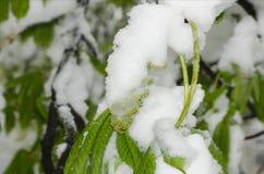 Botões verdes cobertos de neve da árvore da ternura imagens de stock