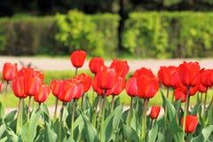 Botões vermelhos do Tulip Imagens de Stock