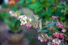 Bot?es e flores do mirtilo em um arbusto imagem de stock
