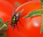 Bot Fly On Tomato Royalty Free Stock Photo