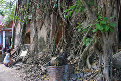 Chapel covered by Roots of Banyan Trees Royalty Free Stock Photography
