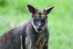 Bot som är känguruunge i Grassfield Arkivfoto