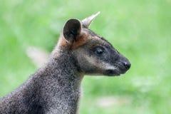 Bot som är känguruunge i Grassfield Arkivbilder