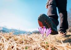 A bota grande do viajante pode pisar na flor macia do açafrão na montanha f Imagens de Stock