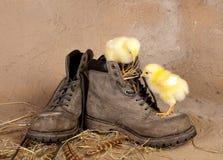 Bota que sube los polluelos de pascua Imagenes de archivo