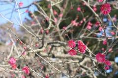Botan. Pink flower in spring and summer season Royalty Free Stock Photo