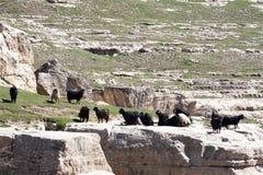 Botan Valley, Siirt,Southeastern Anatolia.Turkey. Livestock in Botan valley, Siirt province,Turkey Royalty Free Stock Images