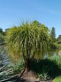 Botanic garden of Adelaide in Australia. Beaucarnea recurvata or elephant's foot or ponytail palm  in the botanic garden of Adelaide in Australia Royalty Free Stock Photos