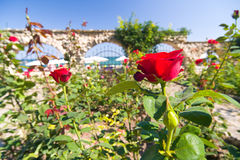 Botanic garden with red roses Stock Images
