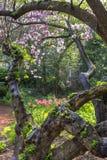 Botanic Gardens Gnarly Cherry Tree Royalty Free Stock Photo