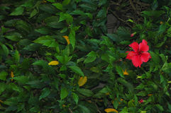 Botanical. Hibiscus Flower Wall royalty free stock images