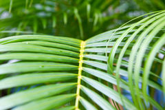Botanical background of green palm tree leaves close up Royalty Free Stock Images