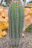 Botanical cactus Stock Image