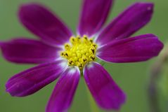 Corolla close-up-Ge Sanghua is in Tibet. Only from botanical considerations, Ge Sanghua is rich in resources, widely distributed in the Asteraceae aster plants Stock Image