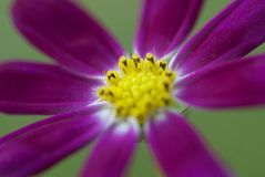 Corolla close-up-Ge Sanghua is in Tibet. Only from botanical considerations, Ge Sanghua is rich in resources, widely distributed in the Asteraceae aster plants Stock Photos