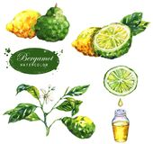 Botanical drawing isolated on the white background: bergamot fruits, branch, slice, bergamot oil, leaves and blossom. Hand-drawn watercolor illustration of the royalty free stock image
