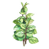 Botanical drawing of a oregano. Watercolor beautiful illustration of culinary herbs used for cooking and garnish Royalty Free Stock Photography