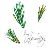 Botanical drawing of a rosemary. Watercolor beautiful illustration of culinary herbs used for cooking and garnish. Isolated on white background Royalty Free Stock Photos